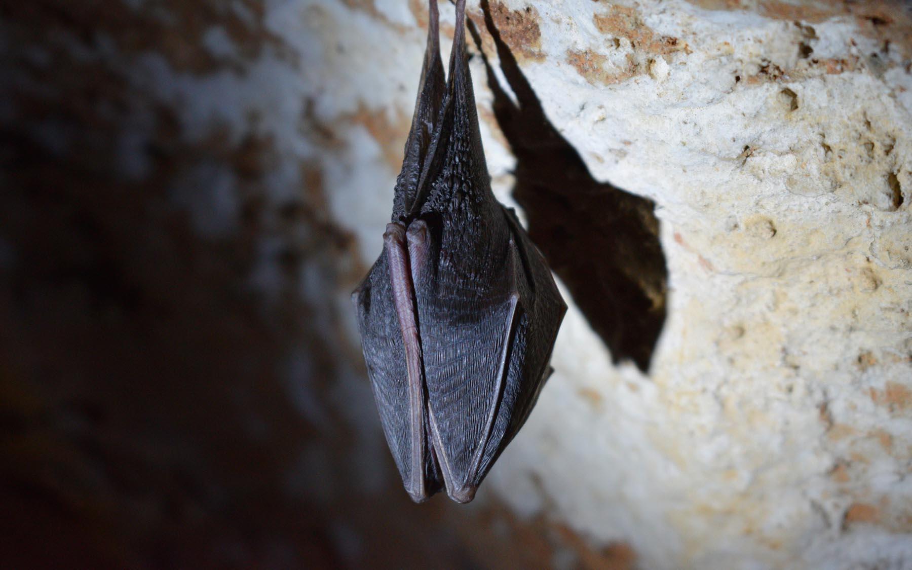 Berry Head Bats
