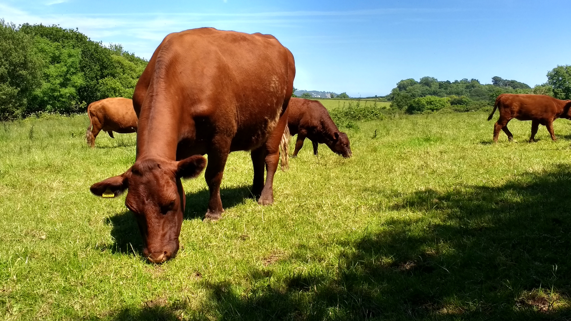 Occombe Farm cows