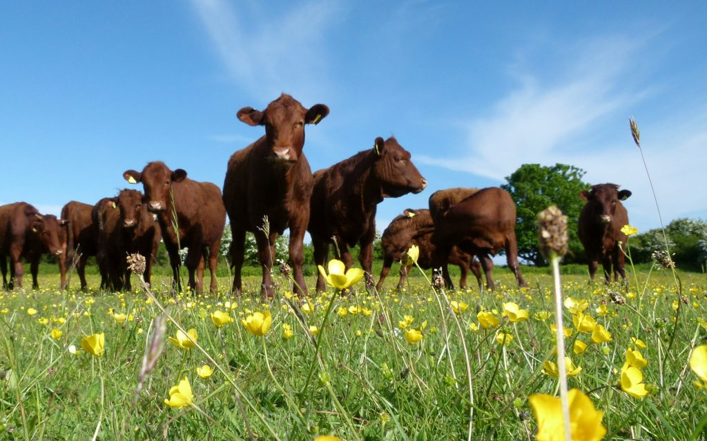 Cattle at Berry Head